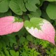 ミヤママタタビの葉