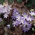 ミスミソウ 青い花