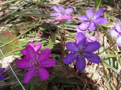 ミスミソウ ピンクと紫
